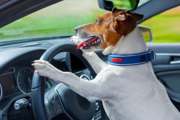 車を運転する犬