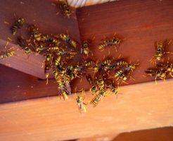 たくさんのハチ
