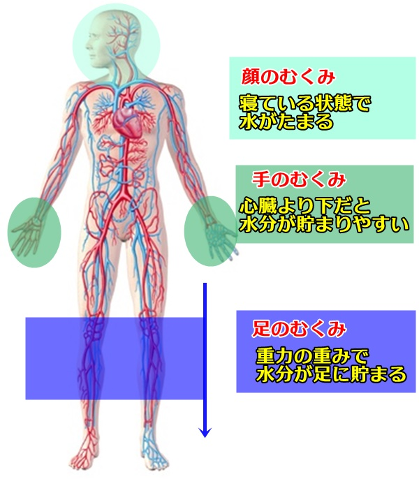 全身の血管とむくみの関係